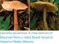 https://sciencythoughts.blogspot.com/2018/01/laccaria-squarrosa-new-species-of.html