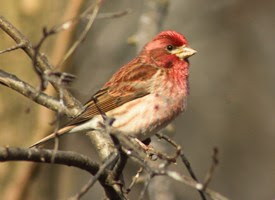 purple finch, lake arrowhead, birdwatching