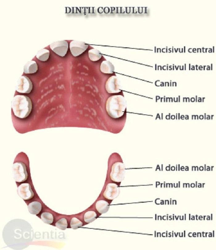Câți dinți are un om: dinții copilului Foto: scientia.ro