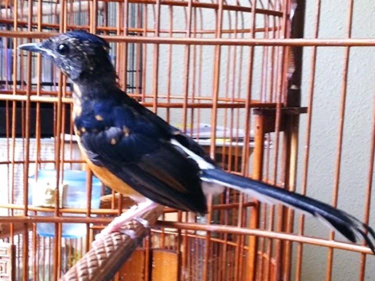 Perawatan Burung Murai Batu Dalam Kondisi Mabung atau Ngurak