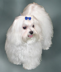 Beautiful White Maltese Dog for photoshoot