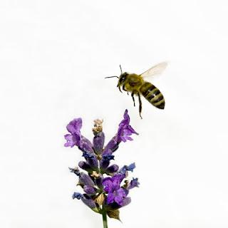 marihuana abeja