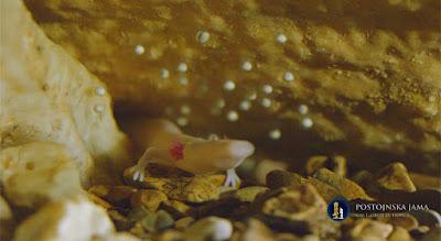"""Biólogos monitoram os ovos raros do pequeno """"dragão"""" da Eslovênia"""