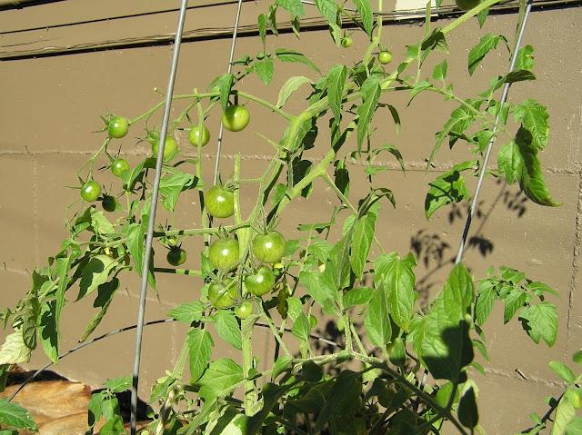 green tomato vine