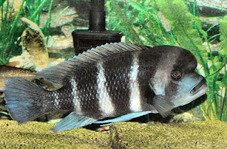 Frontosa Tanganyika Cichlid