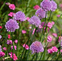 Gambar Bibit Bunga Bawang Bombay