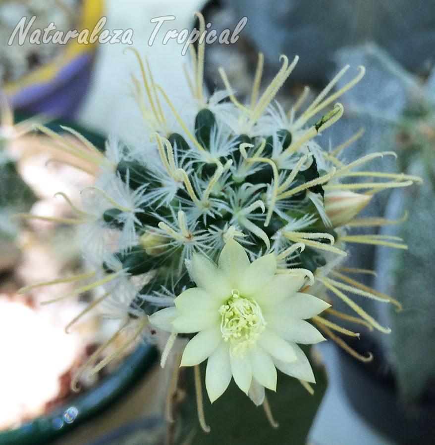 Flor del cactus Mammillaria crinita ssp. duweii