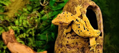 gecko crestado terrario