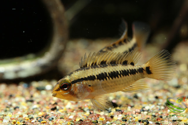 Apistogramma sp. rotflecken / sp. D28