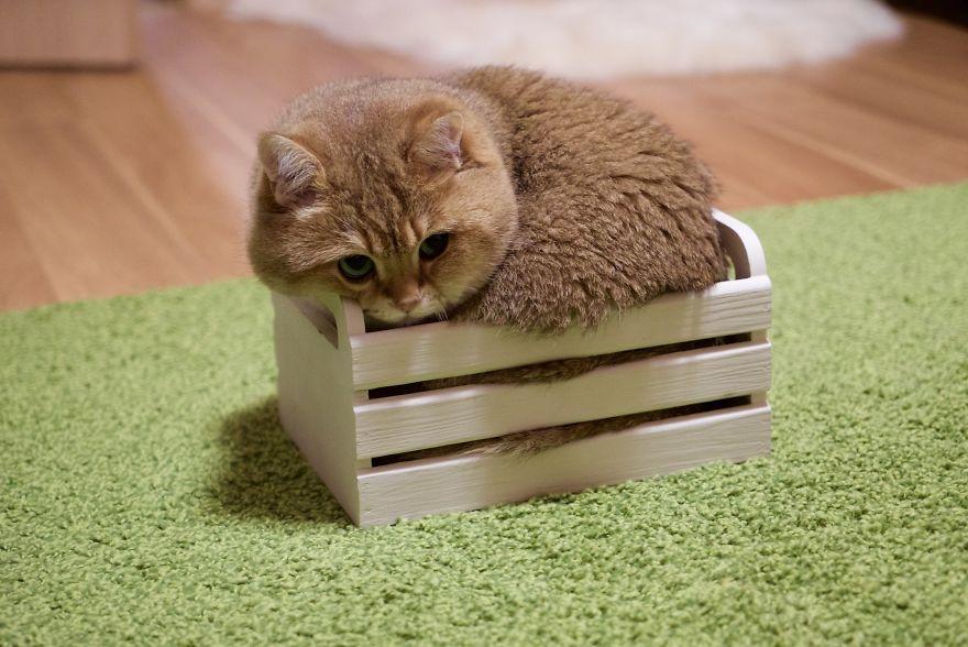 Hosico, Kucing Emas yang Lucu dan Menggemaskan