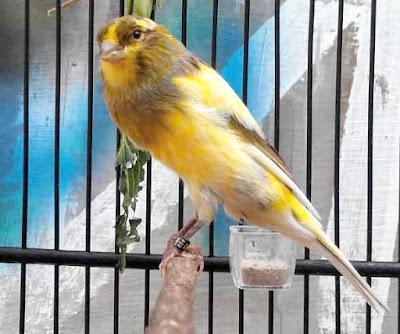 cara merawat harian burung kenari