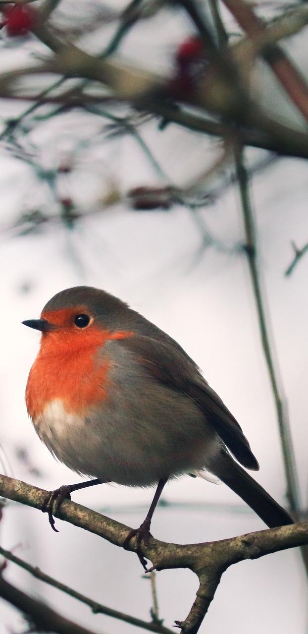 An European robin.