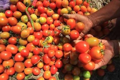 Harga Tomat di Kota Madiun Tembus Rp 11.000 Per Kilogram