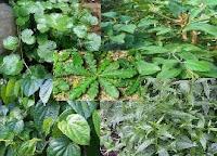 Tanaman obat gatal tradisional pada kulit Tanaman obat gatal tradisional pada kulit