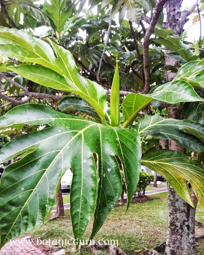 Artocarpus altilis, Breadfruit leaves