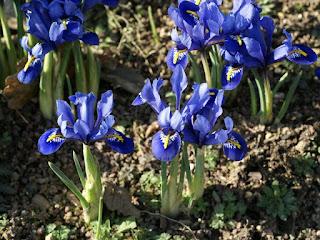 Iris reticulata 'Harmony' (horticole)
