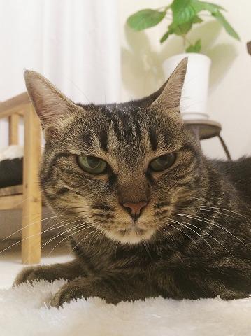 目付きの悪いキジトラ猫