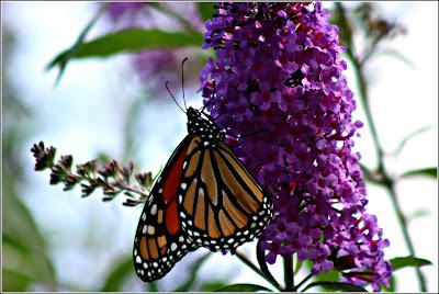 August 26, 2018 Watching the monarch butterflies arrive.
