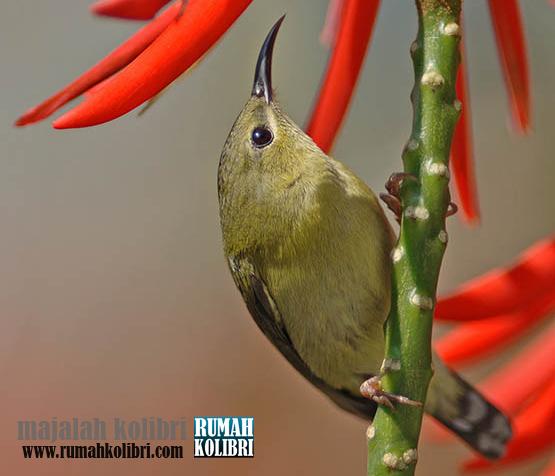 Mengenal Kolibri Ekor Garpu Masih Satu Keluarga Dengan Sepah Raja Rumah Kolibri