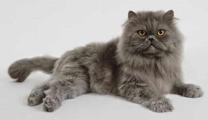 Kucing Persia Tasik Usia Ideal Perkawinan Kucing Persia