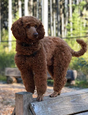 Finn, Our AKC 23 lb Moyen poodle stud for F1b mini litters an F2b litters