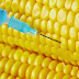Consejo de Estado francés anula prohibición de maíz de Monsanto