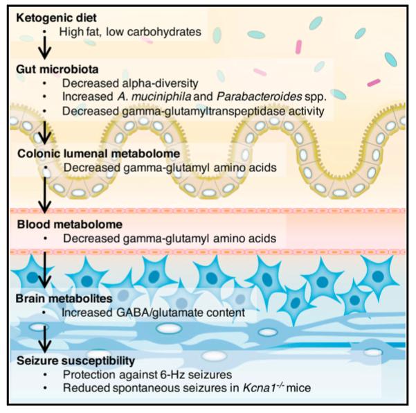 glut-1 receptor epilepsy and ketogenic diet mechanism