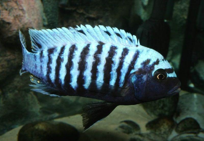 Gambar jenis jenis ikan cichlid ( Malawi Cichlids ) - Pola warna msobo