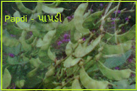 papdi vegetable seeds
