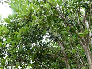 Bois d'Inde - Pimenta racemosa - Piment couronné