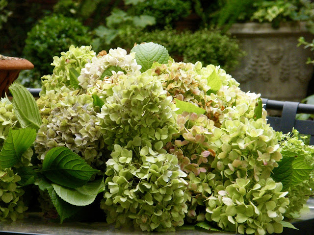 Old-fashioned hydrangea blooms are cut and ready for arranging.