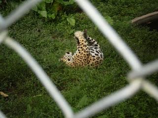 A happy jaguar