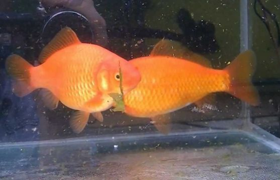 Jenis Ikan Komet Marigold - Marigold Comet