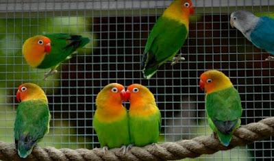 Cara Tepat Dan Akurat Memaster Burung Love Bird Agar Dapat Ngekek Panjang
