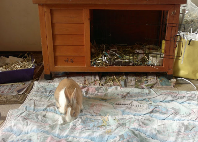 A tri-colour Dutch rabbit plays on an old quilted bunny rug in front of an open rabbit hutch which is flanked by a litter tray on one side and bags of paper shavings and hay on the other.  Bits of hay, paper shreddings and newspaper are scattered across the floor.
