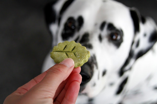 Dalmatian dog begging for leaf shaped dog treat