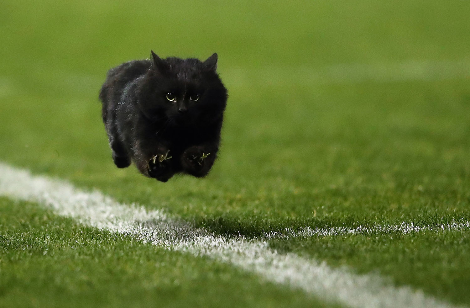 Image of: Funny Videos Black Cat Enters The Field Of Play During The National Rugby League Round 18 Match Between The Penrith Panthers And The Cronulla Sharks At Pepper Stadium Wild Or Wacky Animals On The Playing Field Fun Animals Wiki Videos Pictures