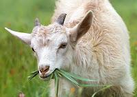 cara ternak kambing, cara ternak kambing tanpa ngarit, ternak kambing, budidaya kambing, usaha kambing, kambing