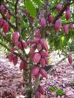 penggerek-buah-kakao-dan-cara-pengendalian