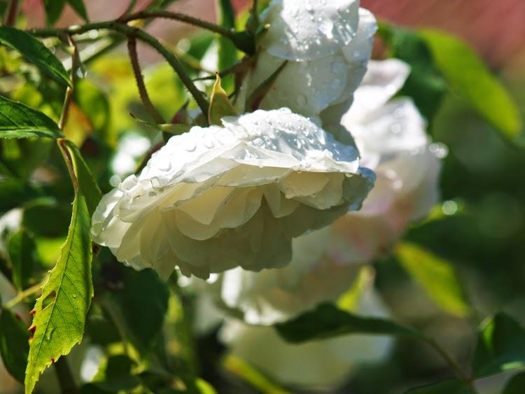"""Schneewittschen Climbing"" klatrerose med med smukke, hvide blomster"