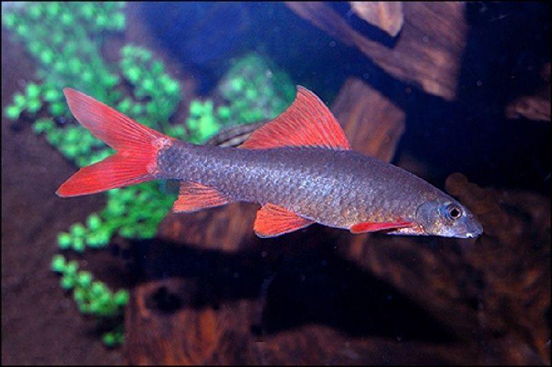 Gambar Sifat Ikan Redfin