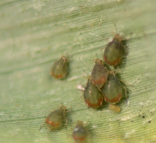 bird-cherry-oat-aphids