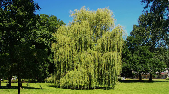Weeping willow low maintenance tree for your Marietta Ga yard