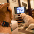 Do Dogs Understand  What They See on Television?