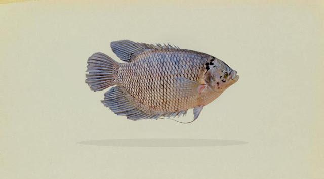 Klasifikasi dan Morfologi Ikan Gurami (Osphronemus Gouramy)