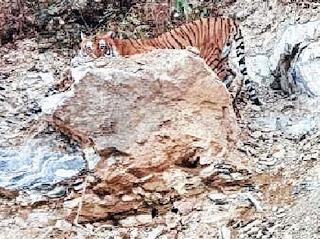 Tiger seen between Algarah and Lava