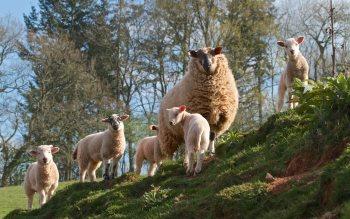 Wallpaper: Sheep and Lambs