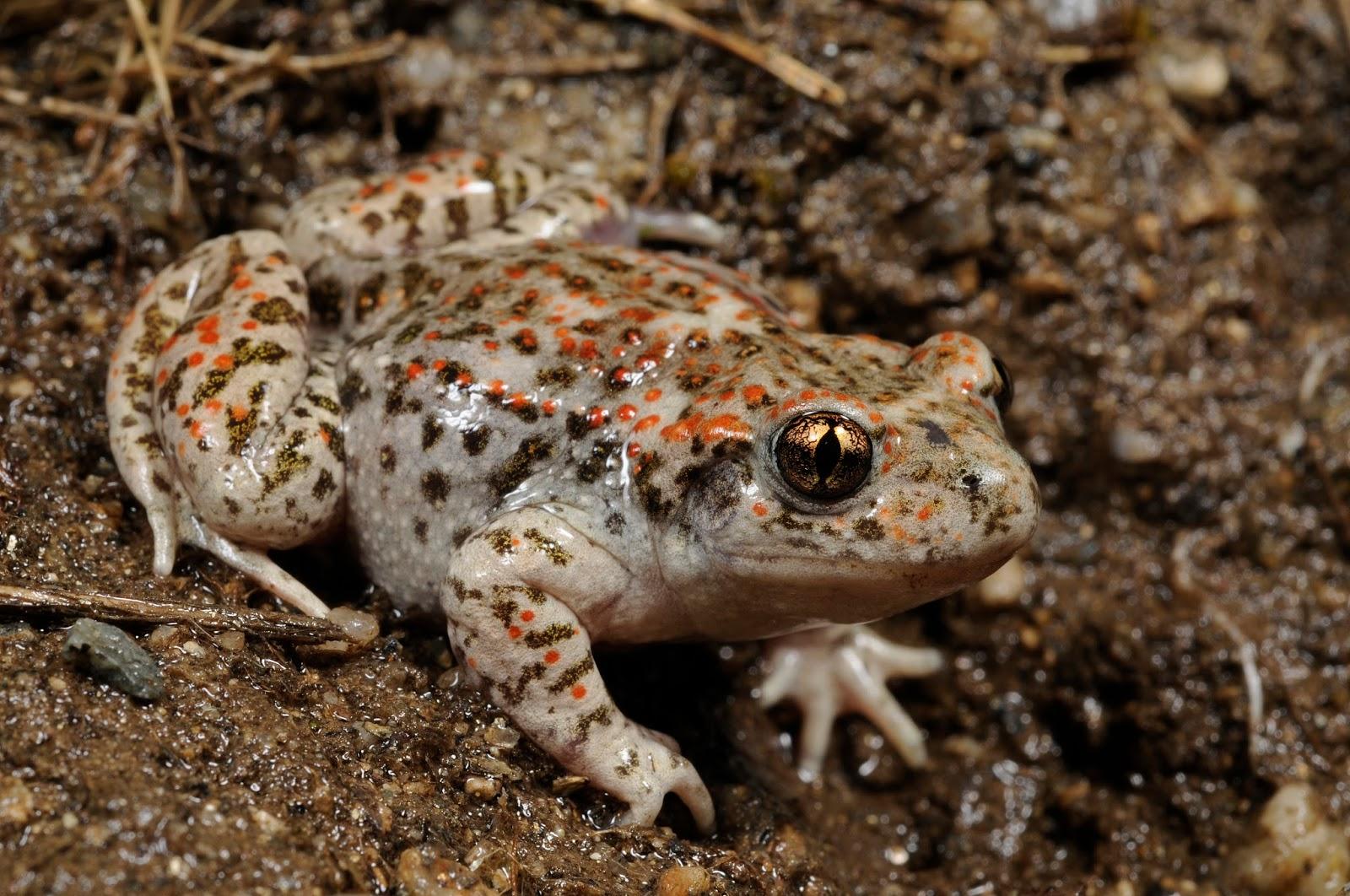 Amphibians: Benny Trapp Alytes cisternasii