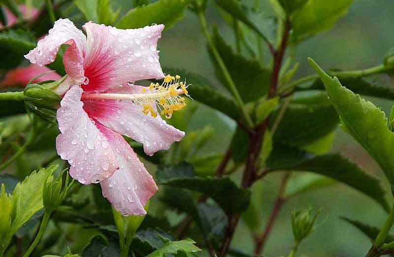 pink hibiscus, flower, rain