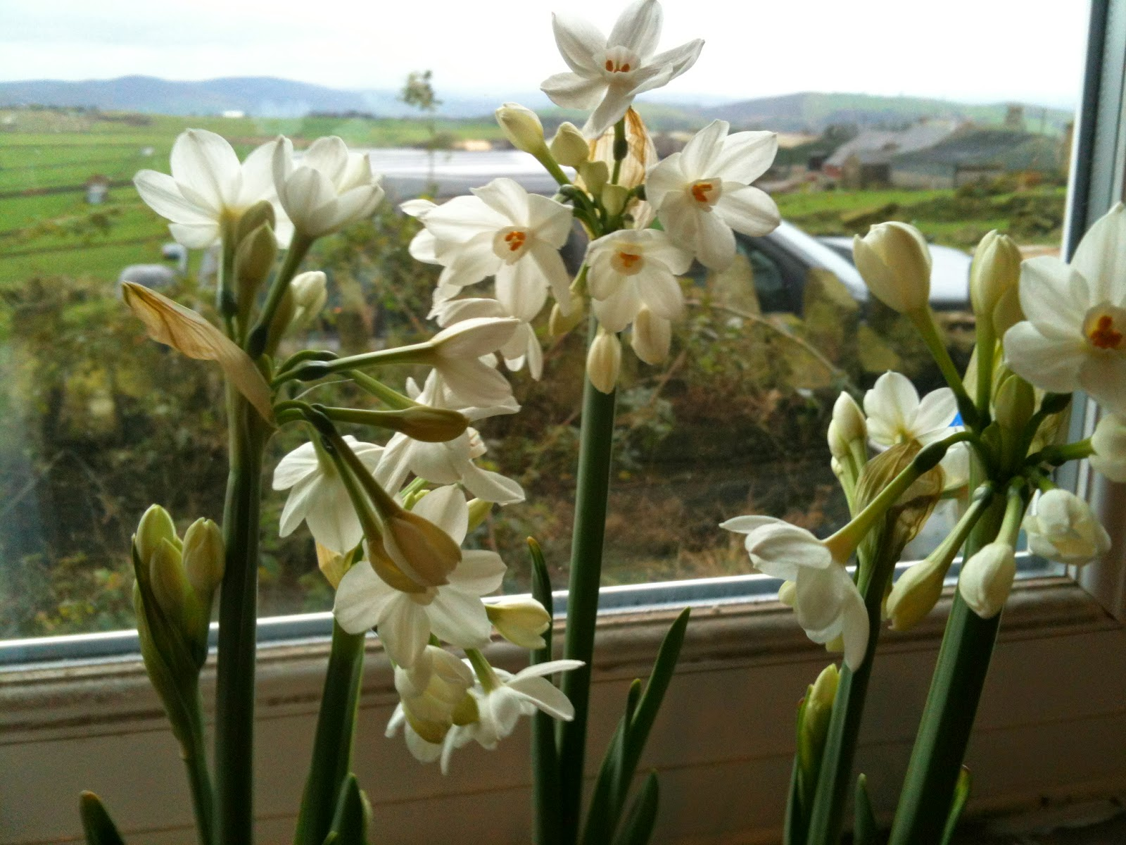 Paper Whites on the windowsill #lifeonpigrow